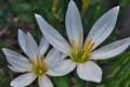 [タマスダレ][ヒガンバナ科][ゼフィランサス][レインリリー][白い花]タマスダレ