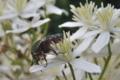 [アオハナムグリ][コガネムシ科][ハナムグリ][センニンソウ][白い花]アオハナムグリ