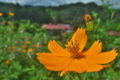 [キバナコスモス][キク科][コスモス][黄色い花][オレンジ色の花]キバナコスモス