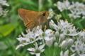 [イチモンジセセリ][セセリチョウ科][畦道][ニラ][白い花]イチモンジセセリ