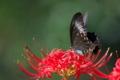 [カラスアゲハ][アゲハチョウ科][黒い蝶][ヒガンバナ][妙義神社]カラスアゲハ