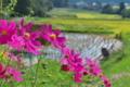 [コスモス][キク科][田んぼ][オオハルシャギク][ピンク色の花]コスモス