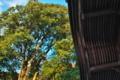 [ウラジロガシ][ブナ科][天然記念物][社務所][妙義神社]ウラジロガシ