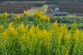 [セイタカアワダチソウ][キク科][背高泡立草][田んぼ][黄色い花]セイタカアワダチソウ
