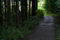 [スギ林][杉林][スギ][杉][林道]スギ林