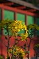[ツワブキ][キク科][黄色い花][波己曽社][妙義神社]ツワブキ