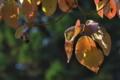 [ミズキ][ミズキ科][水木][紅葉][赤い葉]ミズキ