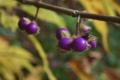 [ヤブムラサキ][クマツヅラ科][ムラサキシキブ][紫色の実][妙義神社]ヤブムラサキ