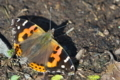 [アカタテハ][タテハチョウ科][タテハチョウ][赤立羽][赤い蝶]アカタテハ