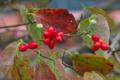 [ハナミズキ][ミズキ科][花水木][並木道][赤い実]ハナミズキ