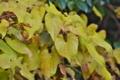 [ヤマノイモ][ジネンジョ][自然薯][黄色い葉][妙義神社]ヤマノイモ