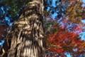 [杉][スギ][老杉][イロハモミジ][新屋稲荷神社]杉