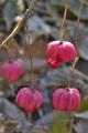 [マユミ][ニシキギ科][檀][赤い種子][ピンク色の実]マユミ