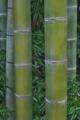 [竹やぶ][竹藪][竹林][モウソウチク][孟宗竹]竹やぶ