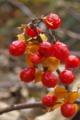 [ツルウメモドキ][ニシキギ科][花材][仮種皮][赤い実]ツルウメモドキ