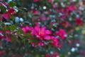 [山茶花][サザンカ][ツバキ科][ピンク色の花][妙義神社]山茶花