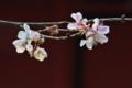 [冬桜][桜][波己曽社][聖徳皇太子][妙義神社]冬桜