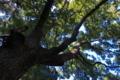 [クスノキ][クスノキ科][巨樹][杜][榎下神社]クスノキ