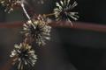 [コセンダングサ][キク科][ひっつき虫][逆光][帰化植物]コセンダングサ