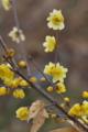 [ロウバイ][ロウバイ科][蝋梅][ろうばいの郷][黄色い花]ロウバイ