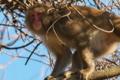 [サル][猿][群れ][雌猿][妙義神社]サル