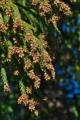[スギ林][雄花][花粉][飛散][杉林]スギ林