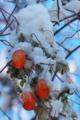 [カラスウリ][ウリ科][烏瓜][雪][赤い実]カラスウリ