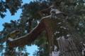 [雪化粧の境内][御神木][老杉][スギ][妙義神社]雪化粧の境内