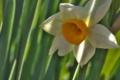 [水仙][スイセン][庭先][ナルキッソス][白い花]水仙