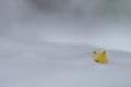 [雪雲の中][雪][福寿草][フクジュソウ][妙義神社]雪雲の中
