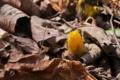 [フクジュソウ][キンポウゲ科][福寿草][北野寺][黄色い花]フクジュソウ