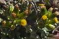 [ノボロギク][キク科][オキュウクサ][野菊][黄色い花]ノボロギク