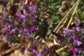 [ホトケノザ][シソ科][仏の座][紫色の花][ピンク色の花]ホトケノザ