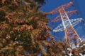 [スギ林][杉][スギ][鉄塔][送電線]スギ林