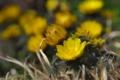 [フクジュソウ][キンポウゲ科][福寿草][陽雲寺][黄色い花]フクジュソウ