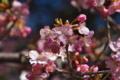 [桜][サクラ][カワヅザクラ][河津桜][緋寒桜系]桜