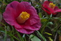 [椿][ツバキ][落椿][ツバキ科][ピンク色の花]椿