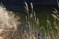 [貯水池][水面][ため池][水辺][アシ原]貯水池