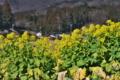 [菜の花畑][菜の花][アブラナ科][山麓][黄色い花]菜の花畑