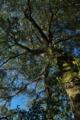 [シラカシ][ブナ科][樫の木][樫][カシ]シラカシ