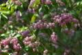 [アセビ][ツツジ科][馬酔木][ピンク色の花][不動寺]アセビ
