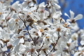[コブシ][モクレン科][こぶし][白い花][妙義地区]コブシ