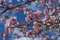 [桜][櫻][サクラ][さくら][開花]桜