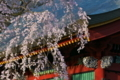 [総門][桜][しだれ桜][シダレザクラ][妙義神社]総門