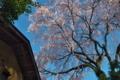 [行田のシダレザクラ][しだれ桜][桜][親木][行田]行田のシダレザクラ