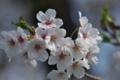 [桜][サクラ][さくら][山里][西見寺]桜