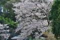 [桜][サクラ][さくら][川風][小坂川]桜