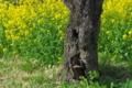 [菜の花畑][菜の花][ゲートボール場][黄色い花][西見寺]菜の花畑