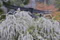 [ユキヤナギ][バラ科][銅鳥居][白い花][妙義神社]ユキヤナギ