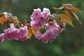 [桜][八重桜][八重][山里][ピンク色の花]桜